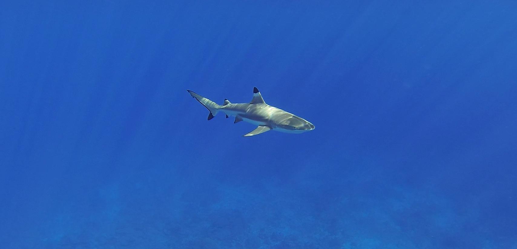 moorea-tahiti-shark
