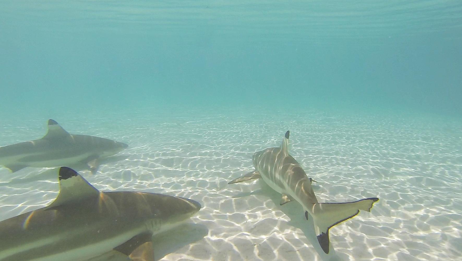 moorea-tahiti-sharks-shallow
