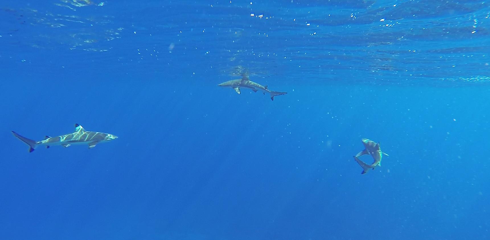 moorea-tahiti-sharks