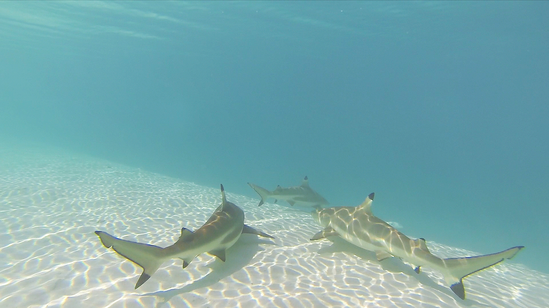 moorea-tahiti-treasure-shallow-sharks