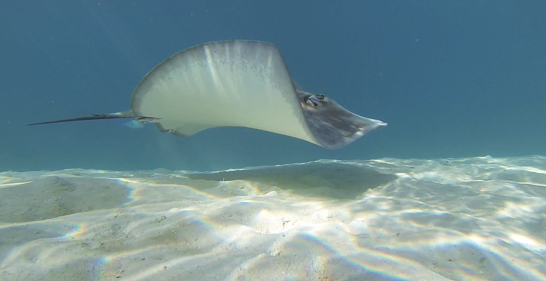 moorea-tahiti-treasure-sting-ray