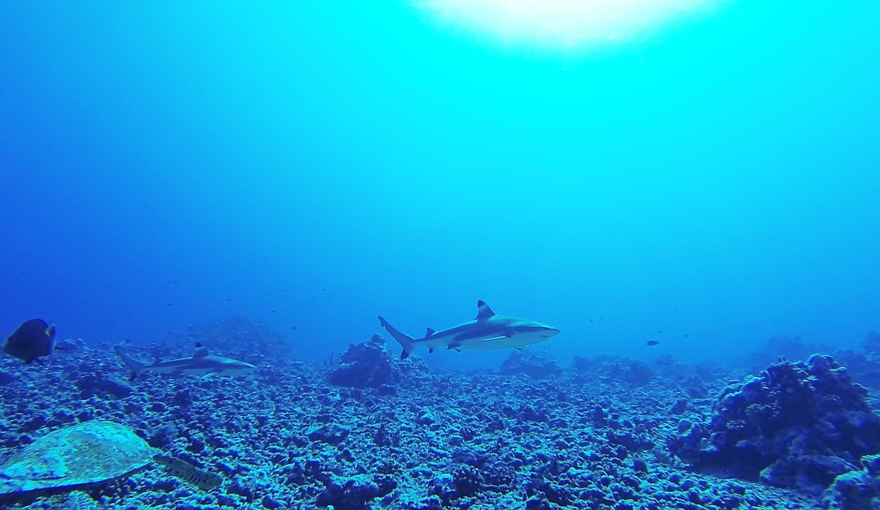 moorea-tahiti-turtle-sharks