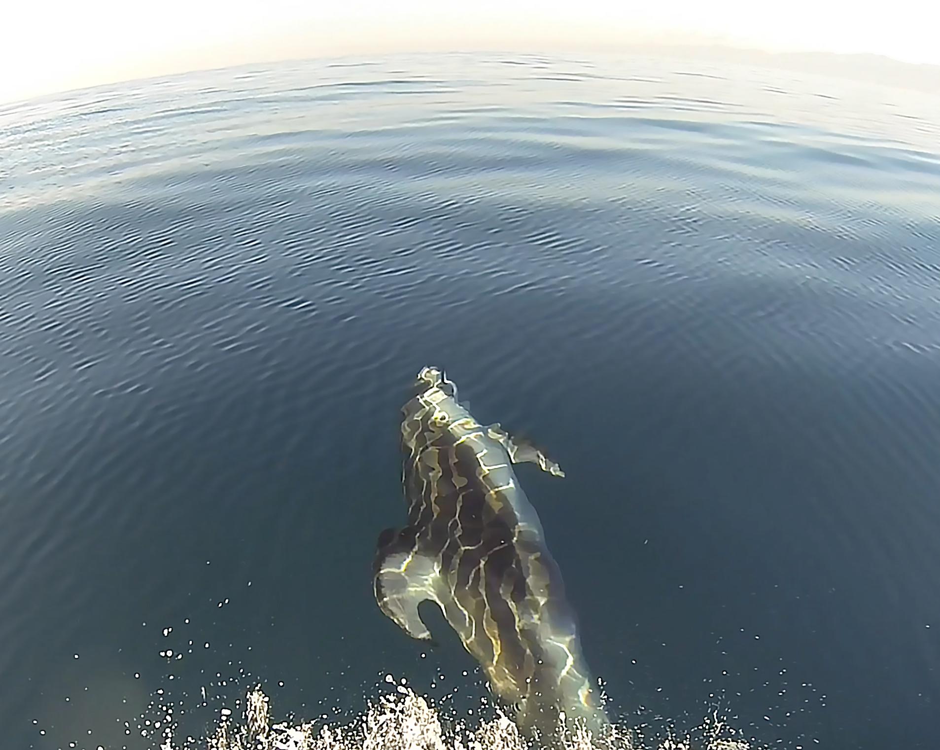 dolphin-jet-ski